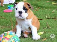 Inzercia psov: Anglický buldok - štěn...