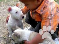 Inzercia psov: Mini Bulteriéra Stenat...