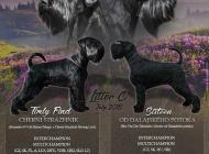 Inzercia psov: Knírač střední černý