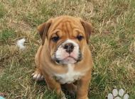 Inzercia psov: Continental bulldog