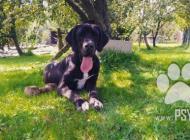 Inzercia psov: Darujem nemeckú dogu