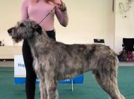 Inzercia psov: Predaj šteniatka írske...
