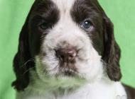 Inzercia psov: Anglický špringršpaněl...