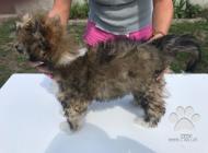 Inzercia psov: Prodám štěně čínský ch...