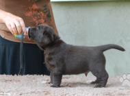 Inzercia psov: Labradorský retriever,...