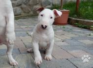 Inzercia psov: Anglický bulterier, bu...