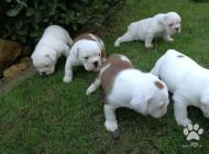 Inzercia psov: Anglický buldog šteniatka