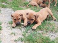 Inzercia psov: Americký pitbulterier ...