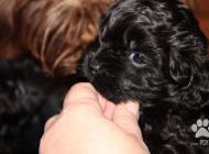 Inzercia psov: Krásná šteniatka - far...