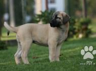 Inzercia psov: Anatolský pastiersky p...