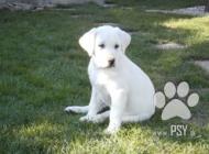 Inzercia psov: Ponúkam na predaj Krás...