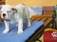 Inzercia psov: Anglický buldok - štěň...