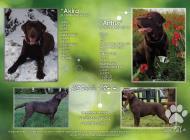 Inzercia psov: Labrador Retriever - š...