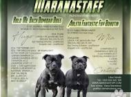 Inzercia psov: Stafordšírský bulterié...