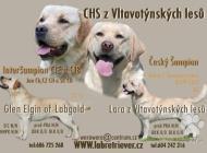 Inzercia psov: Labrador retriever ště...