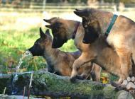 Inzercia psov: šteňatá belgický ovčia...
