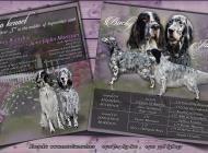 Inzercia psov: Anglický seter