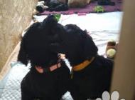 Inzercia psov: Pudl velký