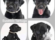 Inzercia psov: Catahoula leopard dog ...