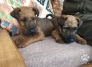 Inzercia psov: Ponúkam šteňatá Írskeh...