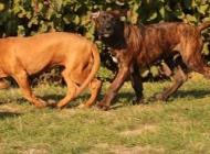Inzercia psov: Tosa inu štěňata s PP ...