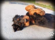 Inzercia psov: Gordon seter - šteniat...