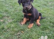 Inzercia psov: Beauceron s průkazem p...