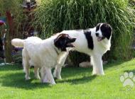 Inzercia psov: Prodám štěně landseera...