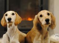 Inzercia psov: Nádherná štěňátka salu...