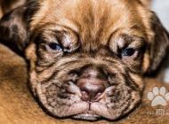 Inzercia psov: Bordeauxská doga - pro...