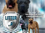 Inzercia psov: Šteniatka Kanárska Doga