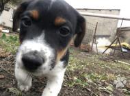 Inzercia psov: Predám šteniatka Jack ...