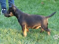 Inzercia psov: Mini Bullterrier FENKA...