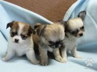 Inzercia psov: čivava mini