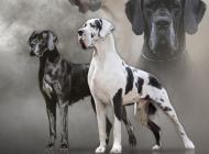 Inzercia psov: Nemecká doga šteniatka...