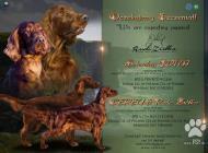 Inzercia psov: írsky setter šteňatá F...