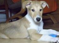 Inzercia psov: Kolie krátkosrstá