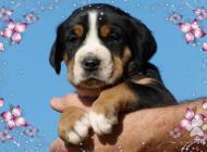 Inzercia psov: veľký švajčiarsky sala...