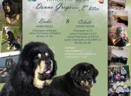 Inzercia psov: Tibetská doga - exkluz...