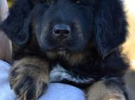 Inzercia psov: Tibetská doga štěňata ...
