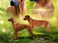 Inzercia psov: Rhodesian Ridgeback št...