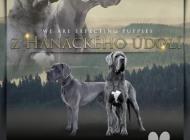 Inzercia psov: Německá doga, štěňata ...