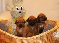 Inzercia psov: Rodézsky ridžbek šteni...