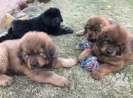 Inzercia psov: Tibetská doga s čínsko...