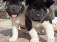 Inzercia psov: Predám štěnia americke...