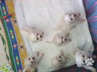 Inzercia psov: Šteniatka Bichon frisé