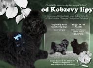 Inzercia psov: Ruská barevná bolonka ...