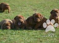 Inzercia psov: Dogue de Bordeaux, Fre...