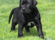 Inzercia psov: Tosa inu černá štěňata...