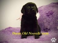 Inzercia psov: šteniatka Old Nouvelle...
